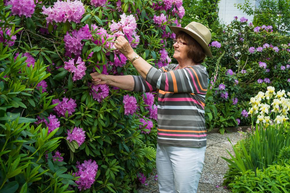 Entretien d'un arbuste de rhododendron