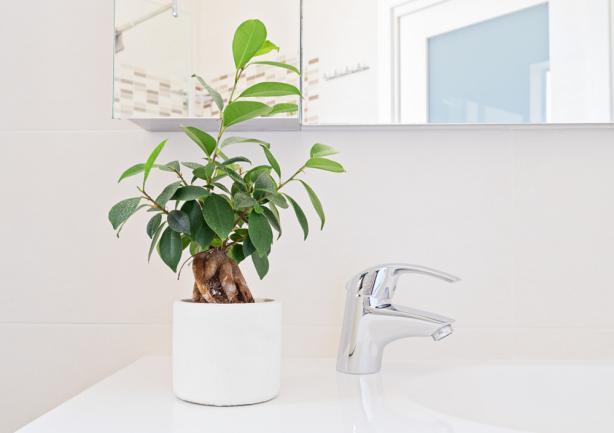 Ficus bonsai dans la salle de bain