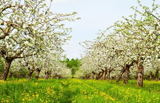Floraison des arbres pommier dans un verger