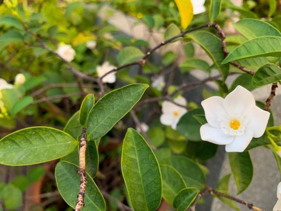 Genus Gardenia