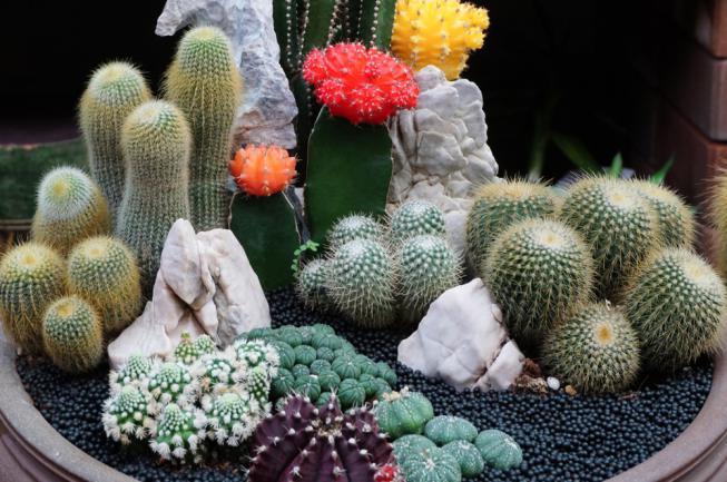 Gymnocalycium, Chin cactus, Mammillaria plumosa, Cereus peruvianus, Mammillaria scrippsiana, Astrophytum astrrias, Snowcap
