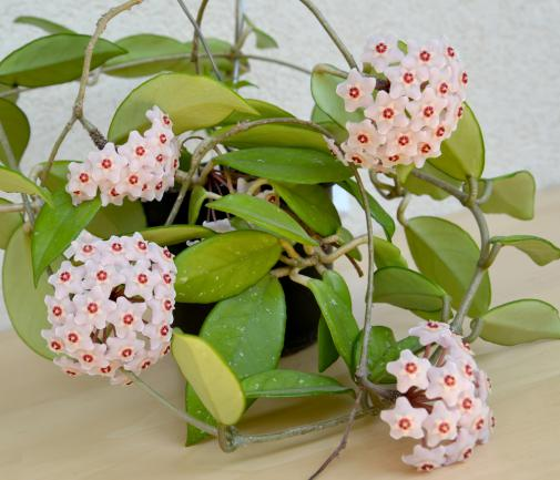 Hoya carnosa (fleurs porcelaine)
