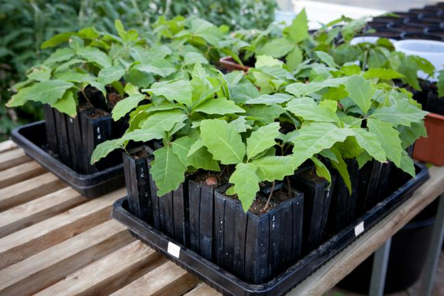 Jeunes plants de truffes mycorhizés