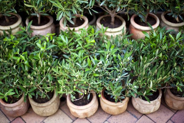 Jeunes plants d'oliviers dans des pots pour un verger