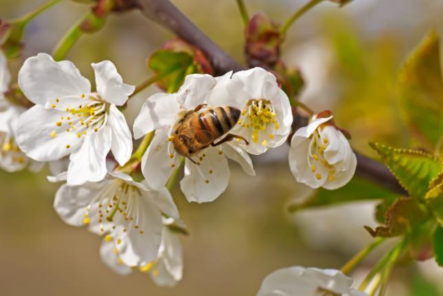 L'abeille - acteur de la pollinisation