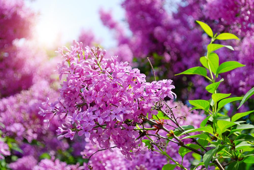 Lilas ou Syringa vulgaris