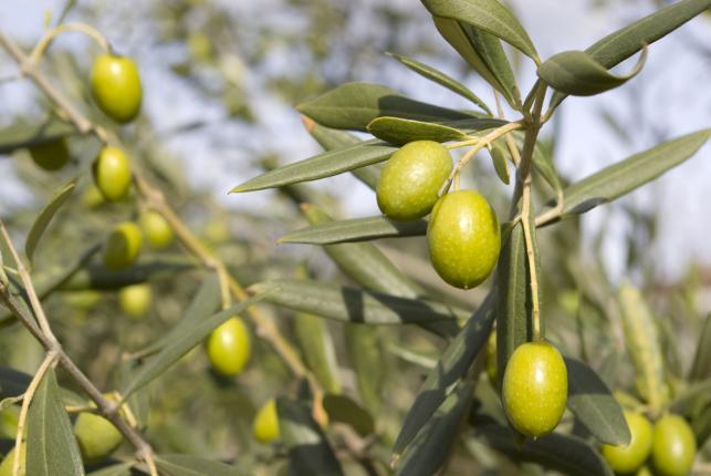 Olives sur un arbre d'olivier
