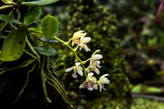 Orchidée épiphyte