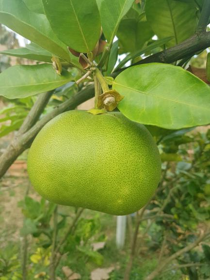 Oroblanco ou citrus sweetie (pamplemousse x pomelo)