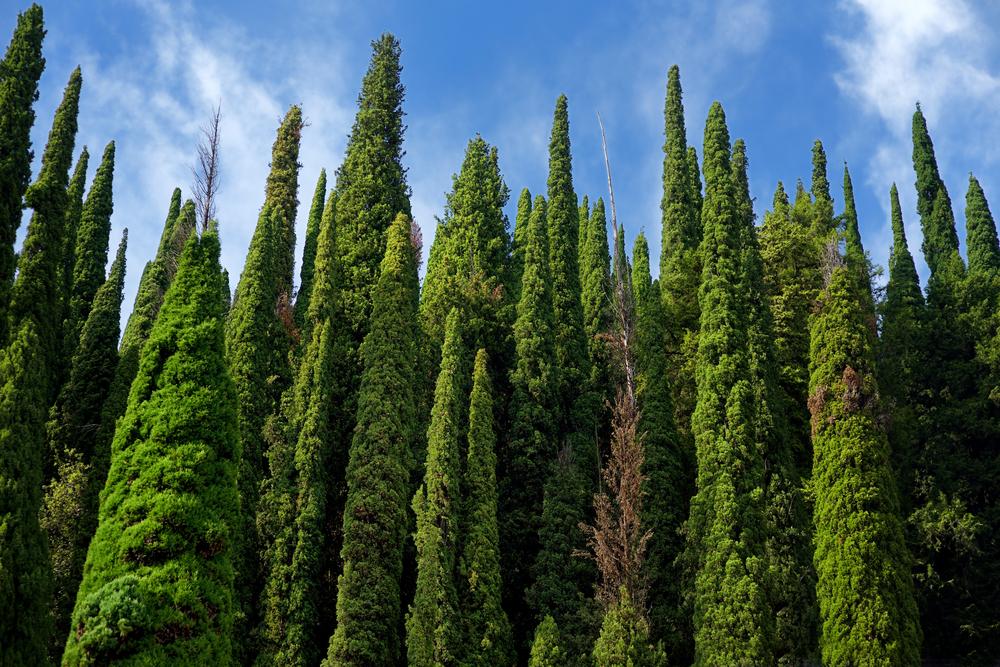 Planter des cyprès en arbre