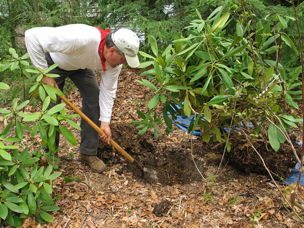 Planter et déplacer un rhododendron