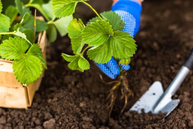 Planter un pied de fraisier dans le jardin