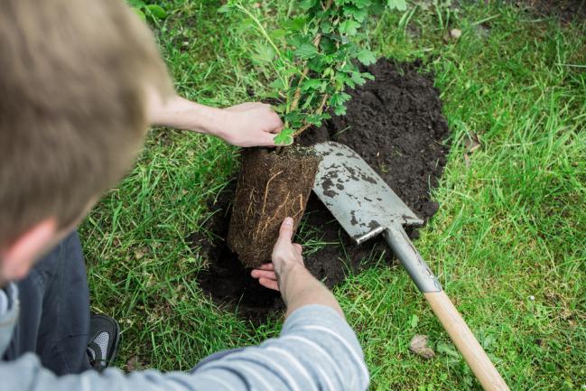 Planter un groseillier dans le jardin
