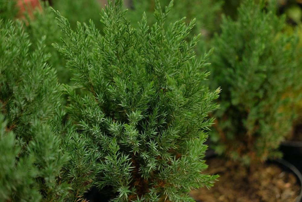 Planter le séquoia