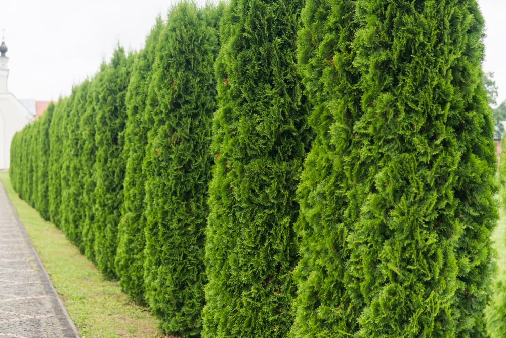 Planter le thuya pour former un rideau brise-vent ou une haie de clôture