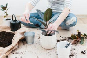 Planter - mise en pot - terre - ficus