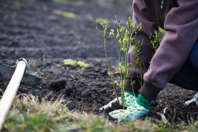 Planter du myrtille dans le jardin
