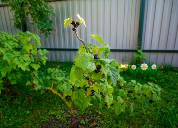 Planter un cassissier dans le jardin
