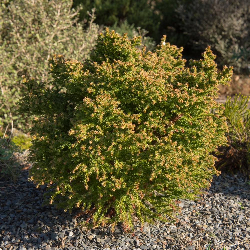 Planter un cèdre du japon dans le jardin