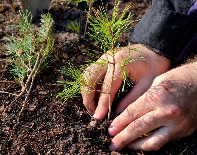 Planter un conifère dans le jardin