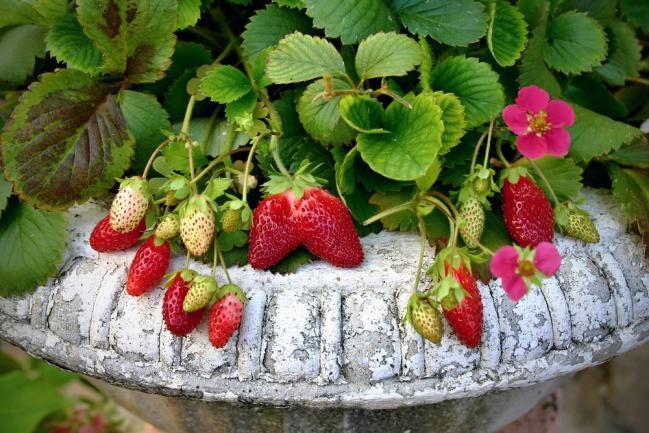 Planter un fraisier dans un bac a fleurs
