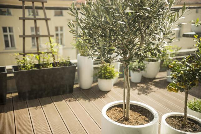 Planter un olivier dans un pot sur la terrasse - jardin urbain