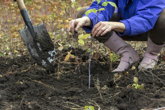 Planter une bouture de framboisier
