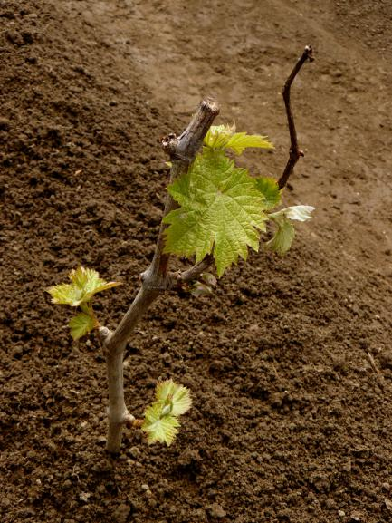 Planter vigne