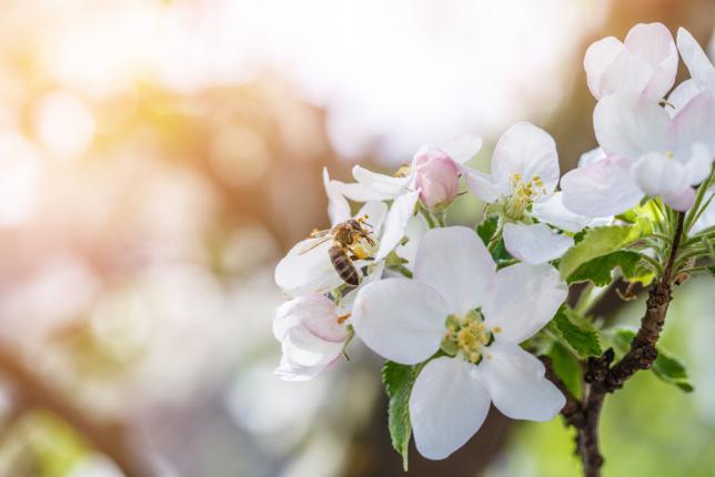 Pollinisation fleurs de pommier