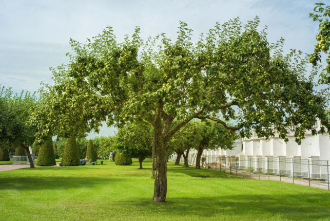Pommier dans un jardin