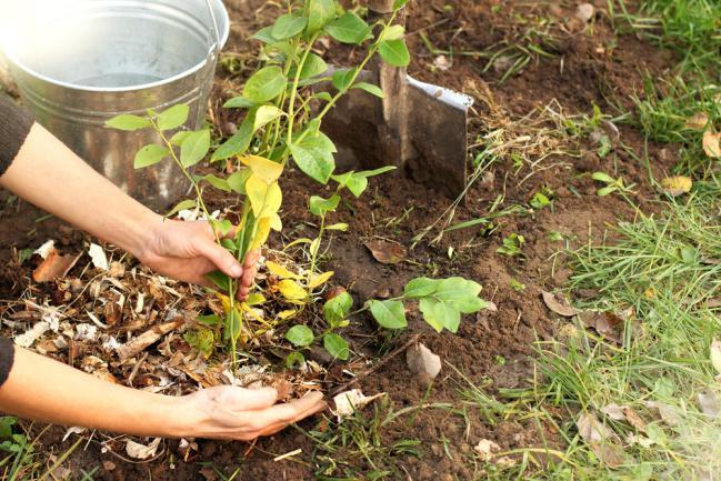 Préparer le sol pour planter la myrtille