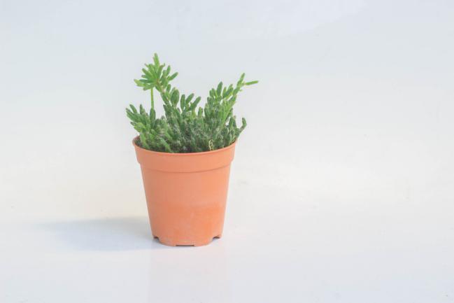 Rhipsalis cactus