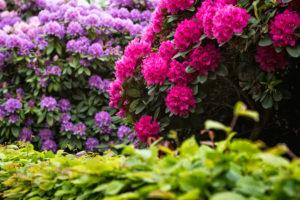 Rhododendron fuchsia et violet