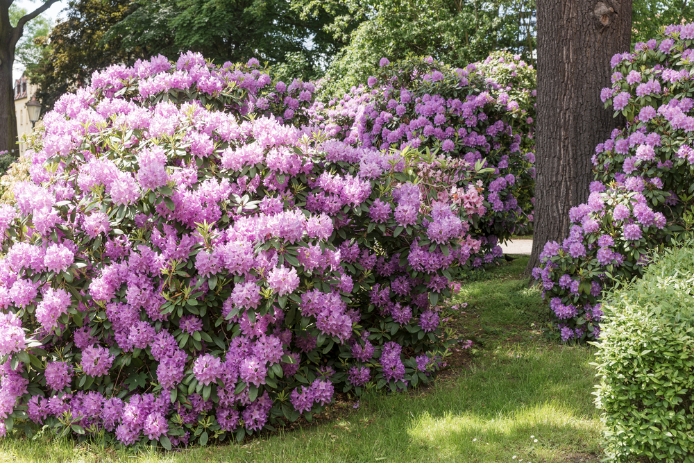 Rhododendrons dans le jardin