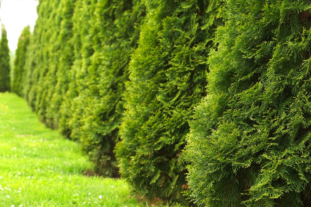 Rideau de thuyas dans un espace vert