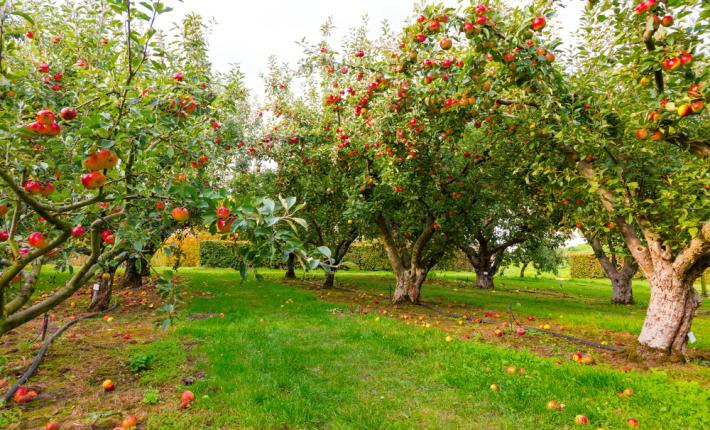 Saison de récolte pommiers