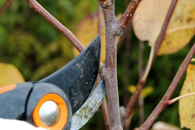 Taille d'un jeune arbre de poirier