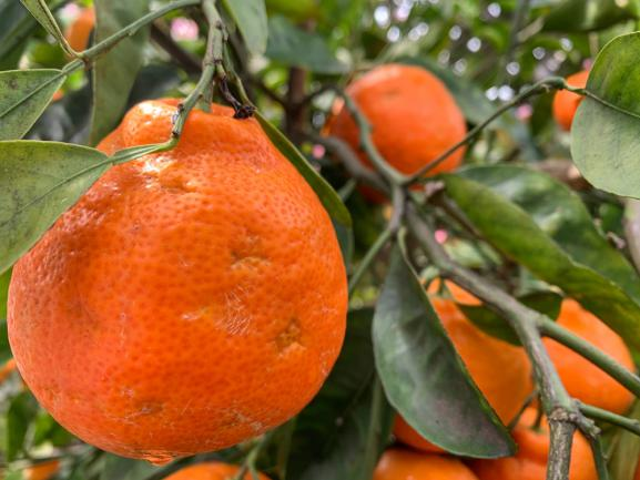 Tangelo (pamplemousse x mandarine)