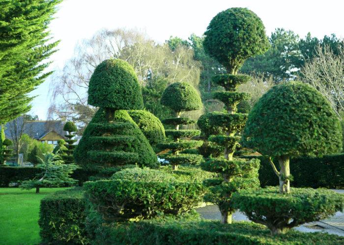 Topiaires d'if dans le jardin