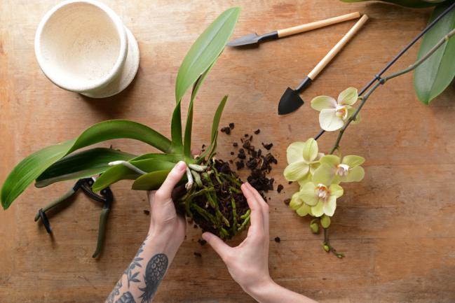 Transplantation d'orchidée