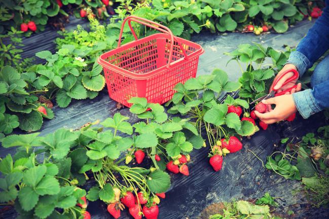 Un coin fraisier dans le jardin