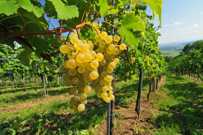 Vigne 'Chasselas doré' toutes régions