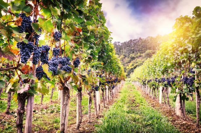 Vigne muscat bleu toutes régions