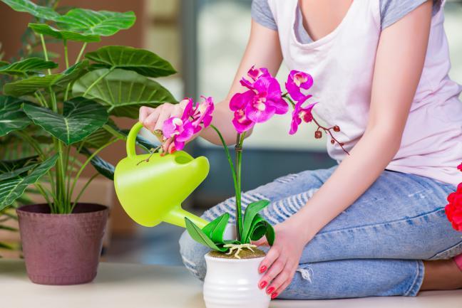 arroser une orchidée d'intérieur