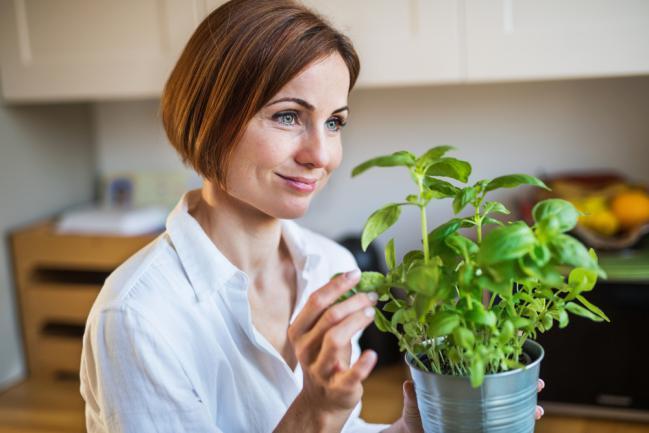 Récolter du basilic