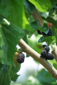 planter mûrier platane