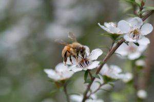 Abeille collectant du pollen de Manuka pour en faire un pollen de manuka, avec des vertus médicinales