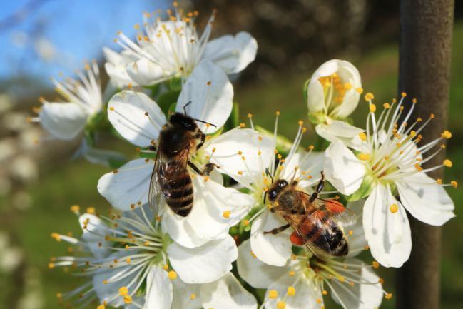 Abeille en train de faire la pollinisation d'un pommier