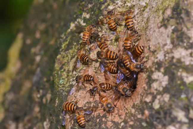 Arbre creux pour réfugier les abeilles