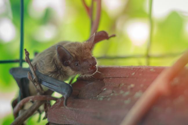 Accueillir une chauve-souris dans le jardin